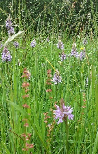 Orchids in the Brail in June